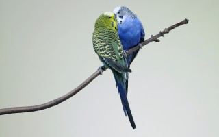 Kissing budgies
