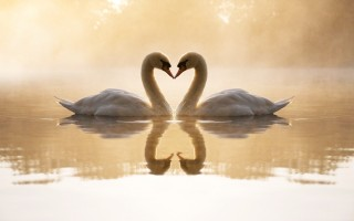 Loving swans ,wide,wallpapers,images,pictute,photos