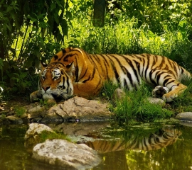 Big tiger ,wide,wallpapers,images,pictute,photos