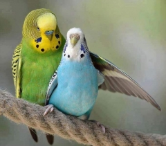 Blue and green parrot ,wide,wallpapers,images,pictute,photos