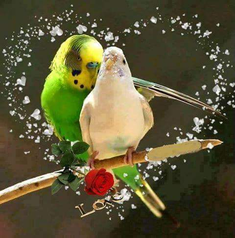 Colourful love parrots