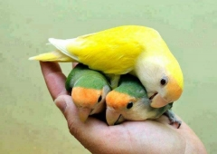 My lovely parrots