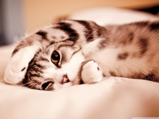 Funny lazy cat wallpaper