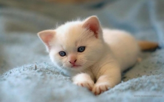 Cute cat ,wide,wallpapers,images,pictute,photos