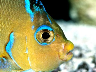 Atlantic blue angelfish h