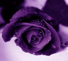 Cardinal purple rose
