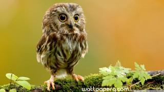 Owl smiling image ,wide,wallpapers,images,pictute,photos
