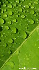 Drops on leaf hd wallpaper for mobile screen savers