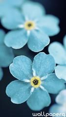 Forget me blue flowers hd wallpaper for mobile screen savers