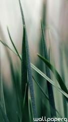 Green grass iphone 5 wallpaper