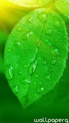 Green leaf iphone 5 wallp