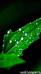 Leaf hd wallpaper for mobile screen savers ,wallpapers,images,