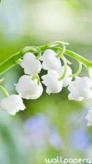 Lily of the valley hd wallpaper for mobile screen savers ,wallpapers,images,