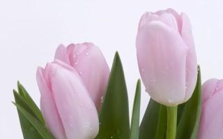 Lovely pink buds