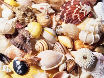 Sea shells hd wallpaper for laptop screen saver