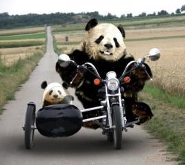 Funny pandas