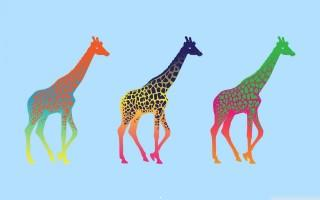 Giraffes wallpaper
