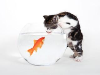 Kitten vs. fish wallpaper