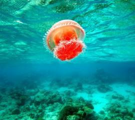 Jellyfish(2)