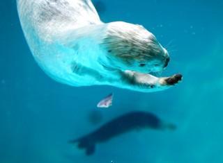 Sea otter wallpaper
