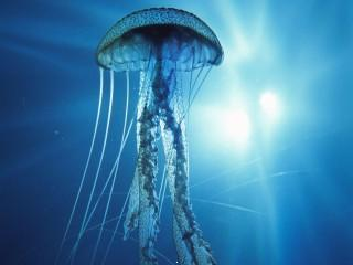 Underwater jellyfish hd wallpapers