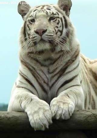 Wild white tiger ,wide,wallpapers,images,pictute,photos