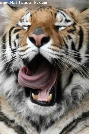 Wild tiger ,wide,wallpapers,images,pictute,photos