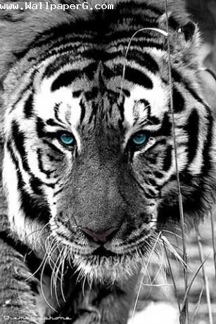 Tiger with blue eye