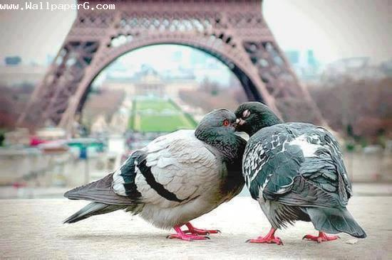 Pigeon love ,wide,wallpapers,images,pictute,photos