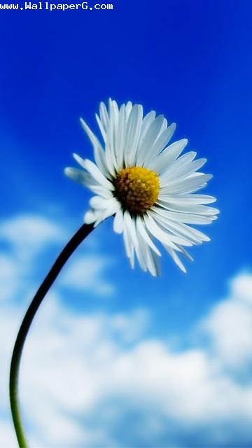 White flower 1 ,wide,wallpapers,images,pictute,photos