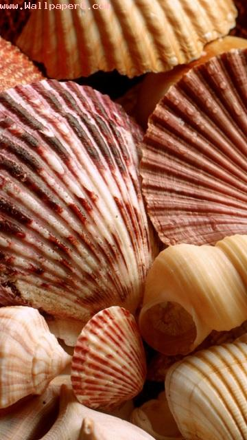 Sea shells 1 ,wide,wallpapers,images,pictute,photos