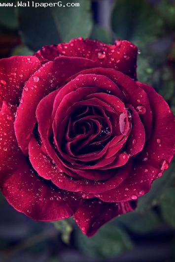 Single fresh red rose