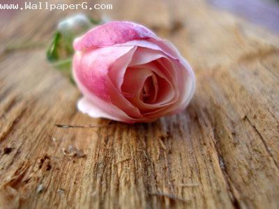 White and pink rose ,wide,wallpapers,images,pictute,photos