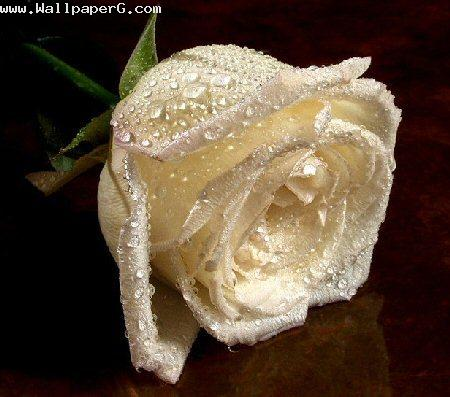 White rose sign of happy love