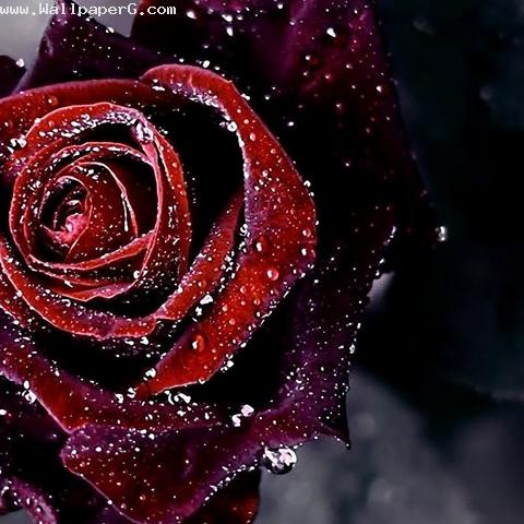 Dark rose sign of beauty