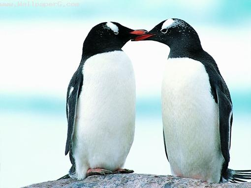 Penguin ,wide,wallpapers,images,pictute,photos
