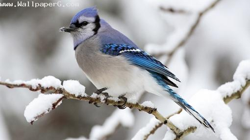 Blue grey bird ,wide,wallpapers,images,pictute,photos
