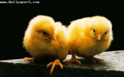 Beautiful chicks