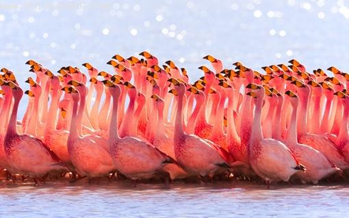Pink flamingos ,wide,wallpapers,images,pictute,photos
