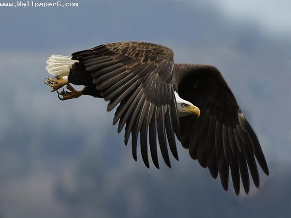 Eagle ,wide,wallpapers,images,pictute,photos