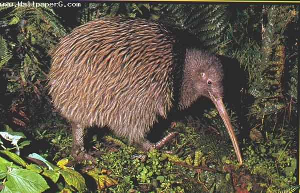 Kiwi ,wide,wallpapers,images,pictute,photos