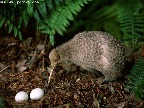 Kiwi eggs ,wide,wallpapers,images,pictute,photos