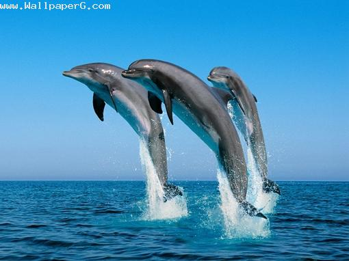 Dolphin wallpaper ,wide,wallpapers,images,pictute,photos
