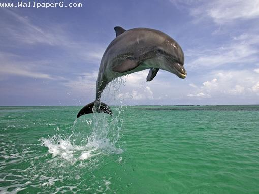 Dolphin ,wide,wallpapers,images,pictute,photos