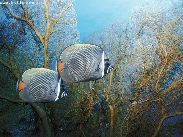 Grey fishes ,wide,wallpapers,images,pictute,photos