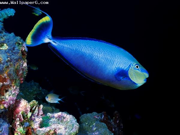 Blue fish ,wide,wallpapers,images,pictute,photos