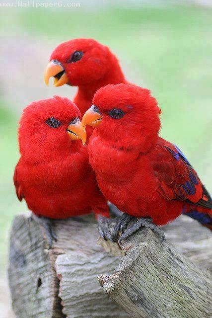 3 red birds
