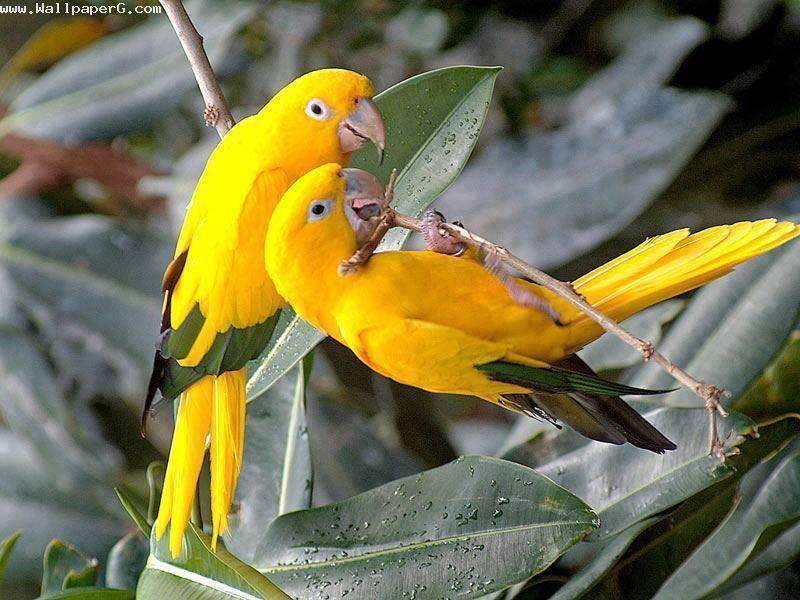 2 yellow birds