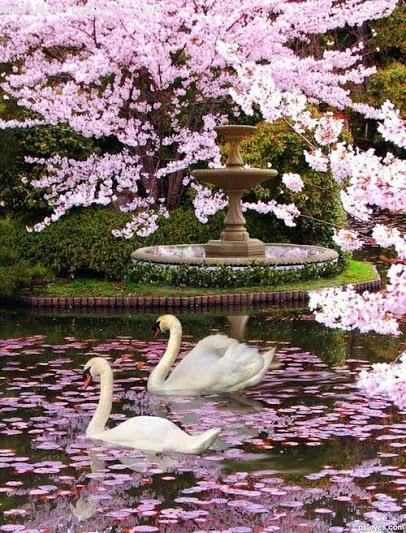 Beautiful swans ,wide,wallpapers,images,pictute,photos
