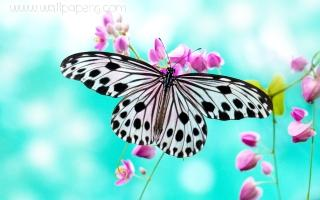 Black and white butterfly ,wide,wallpapers,images,pictute,photos